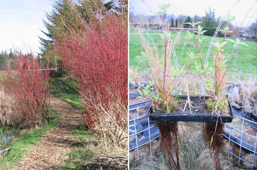 Red Twig Dogwood in winter, and its roots